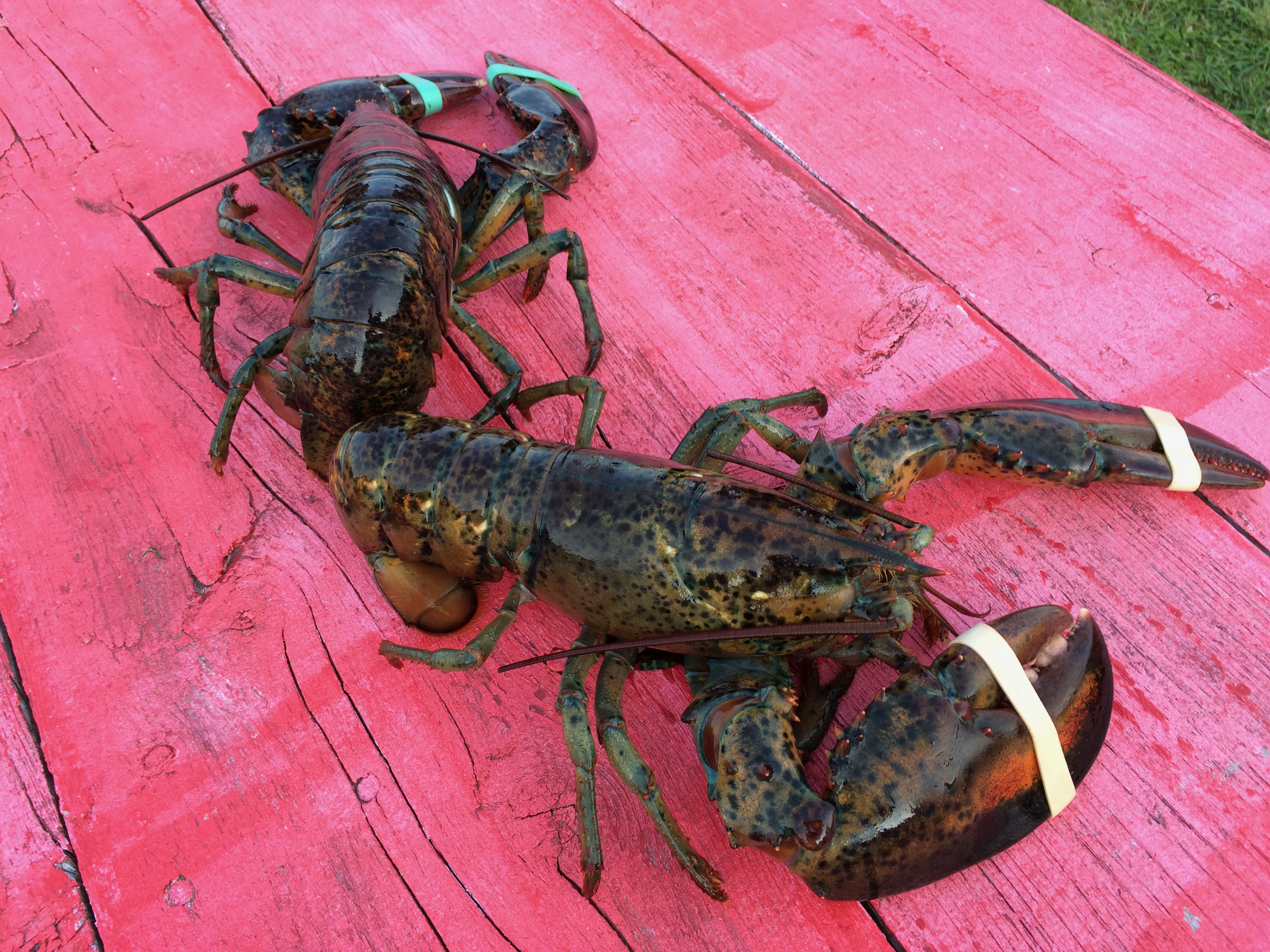 Live lobsters on the picnic table