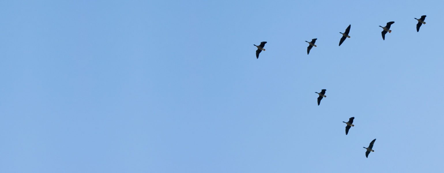 migrating geese flying against a blue sky